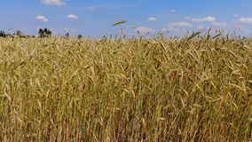 Wheat field from above. 4K. Wavy movement of wheat ears. Low flight and take off over the wheat field, panoramic view from the air stock video footage