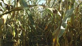 4K Wege durch das reife Maisfeld, die für das Ernten vorbereiten Nahaufnahmepanoramablick stock video footage