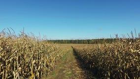 4K Wege durch das reife Maisfeld durch schmutzige Straße, Panoramablick stock video