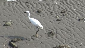 4K White bird Egretta Garzetta, little egret search food in Tamshui beach
