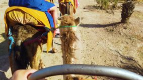 4k wideo od jeźdza widoku wielbłądzi Sahara Jeźdzowie ubierają w typowych Berber błękita ubraniach w marokańczyku zdjęcie wideo