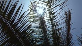4K wideo palma opuszcza w wiatrze zdjęcie wideo