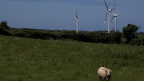 4K wind turbines and bull in foreground  UK stock video footage