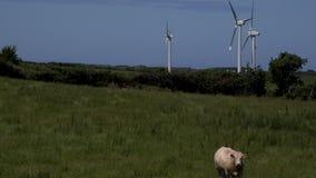 4K windturbines en stier in voorgrond het UK stock videobeelden