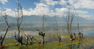 4k withered in water,mountain & cloud reflect on lake,erhai Dali,china. 4k pink cosmos bipinnatus,withered tree in water,cangshan mountain background,cloud stock footage