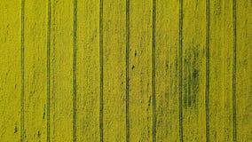 4K Wysoki lot nad kwitnienia rapeseed żółty pole przy słonecznym dniem, powietrzny odgórny widok Tło wzór z żółtym kolorem i lini zbiory wideo