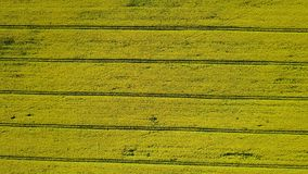 4K Wysoki lot nad kwitnienia rapeseed żółty pole przy słonecznym dniem w wiośnie, powietrzny odgórny widok Tło wzór z żółtym kolo zbiory wideo