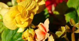 4k yellow & red flower bloom under sunlight. Gh2_10852_4k stock footage