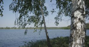 4k - zbliżać się grupy młode brzozy blisko jeziora zbiory