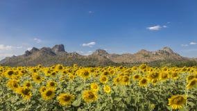 4K Zeitspanne des Sonnenblumenfelds auf bewölktem Himmel stock footage