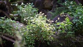 4K, Zon draag in het bos tussen bomen bij dierentuin Het Aziatische Honey Bear-wild stock videobeelden