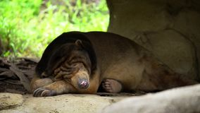 4K, Zon draag slaap in bos tussen rotsen en bomen bij dierentuin Honey Bear stock video