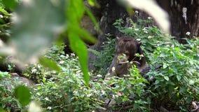 4K, Zon draag tonend zijn krachtige kaken in het bos tussen bomen bij dierentuin stock videobeelden