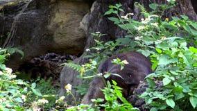 4K, Zon draag tonend zijn krachtige kaken in het bos tussen bomen bij dierentuin stock video