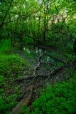Kałuża w wiosny zieleni lesie zdjęcie royalty free