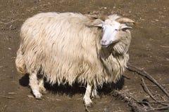 Ka ceco del ¡ del valaÅ delle pecore della razza Immagini Stock