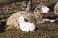 Ka ceco del ¡ del valaÅ delle pecore della razza con l'agnello di Pasqua Immagini Stock