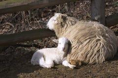 Ka ceco del ¡ del valaÅ delle pecore della razza con l'agnello di Pasqua Fotografia Stock