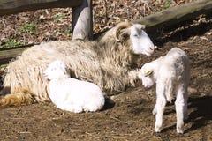 Ka ceco del ¡ del valaÅ delle pecore della razza con l'agnello di Pasqua Fotografia Stock Libera da Diritti