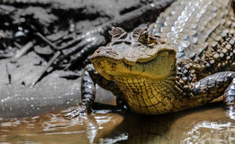Kaaiman bij Cano-Zwarte, Costa Rica royalty-vrije stock afbeelding