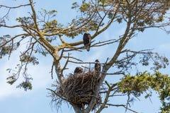 Kaal adelaar en adelaarsjong stock foto's