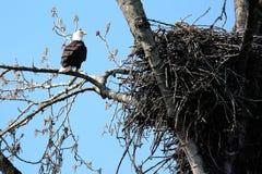 Kaal adelaar en nest Royalty-vrije Stock Foto