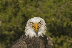 Kaal adelaars hoofdschot Royalty-vrije Stock Afbeeldingen