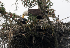 Kaal adelaarsnest in Alaska stock foto's