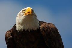 Kaal adelaarsportret Stock Foto