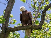Kaal die Eagle in een boom wordt neergestreken Stock Fotografie