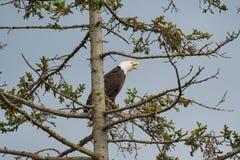 Kaal die Eagle in een boom wordt neergestreken Stock Afbeeldingen
