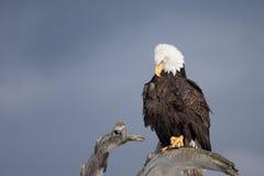 Kaal die Eagle op drijfhout, Homer Alaska wordt neergestreken Stock Afbeeldingen
