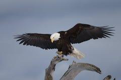 Kaal die Eagle op drijfhout, Homer Alaska wordt neergestreken Royalty-vrije Stock Afbeeldingen