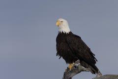 Kaal die Eagle op drijfhout, Homer Alaska wordt neergestreken Stock Foto's