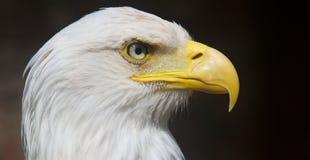 Kaal Eagle Royalty-vrije Stock Foto