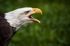 Kaal Eagle Royalty-vrije Stock Fotografie