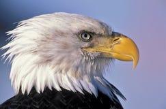 Kaal Eagle stock afbeeldingen