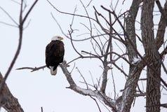 Kaal Eagle Stock Foto