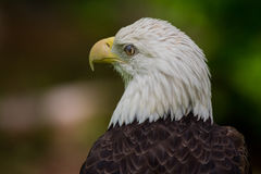Kaal Eagle Blinking Close Up stock foto