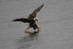 Kaal Eagle Catching een Vis royalty-vrije stock foto