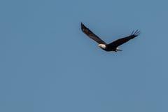 Kaal Eagle die en in de blauwe hemel stijgen jagen Stock Foto