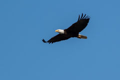 Kaal Eagle die en in de blauwe hemel stijgen jagen Royalty-vrije Stock Foto's