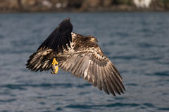 Kaal Eagle die, Homer Alaska vliegen Stock Afbeeldingen