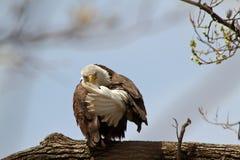 Kaal Eagle die me wegknippen de vogel Royalty-vrije Stock Foto's