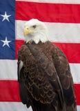 Kaal Eagle die met Amerikaanse Vlag 2 zitten Stock Afbeeldingen