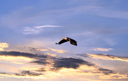 Kaal Eagle die over een zonsonderganghemel vliegen Royalty-vrije Stock Afbeeldingen