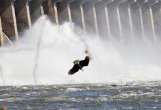 Kaal Eagle Diving For Dinner Royalty-vrije Stock Fotografie