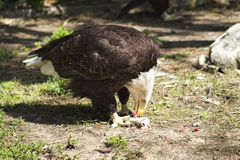 Kaal Eagle Eating Dinner royalty-vrije stock afbeelding