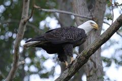 Kaal Eagle Eating in een Boom stock afbeeldingen