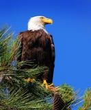 Kaal Eagle in een Pijnboomboom Royalty-vrije Stock Foto